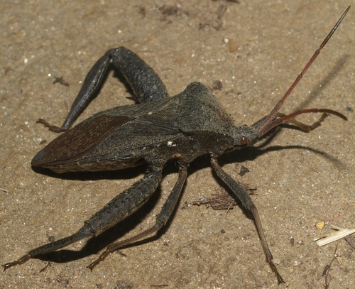 Florida leaf-footed bug: Acanthocephala femorata
