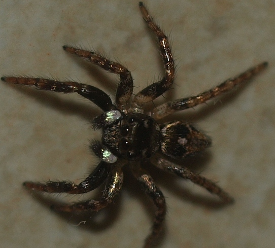 Anasaitis canosa: Twinflagged jumping spider