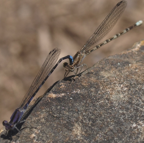 Argia immunda: Kiowa dancer damselflies mating