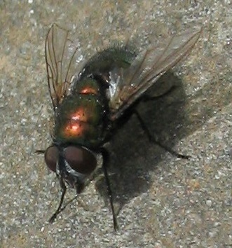 orange-bodied blowfly