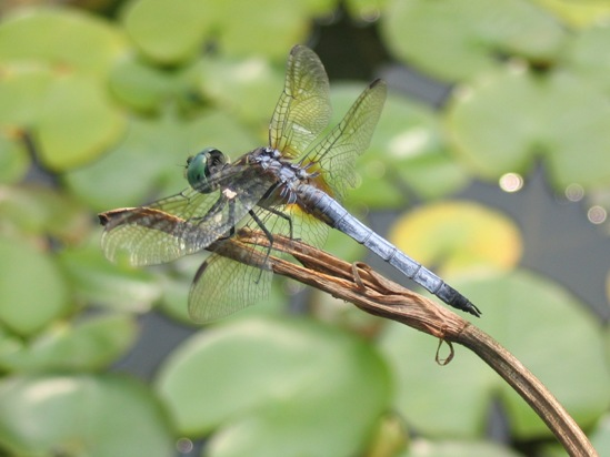 Pachydiplax longipennis: blue dasher