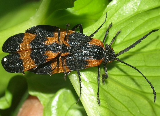Calopteron discrepans: net-winged beetle