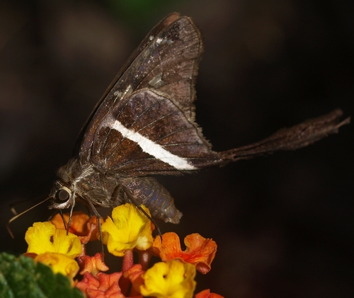 white-striped longtail skipper: Chioides albofasciatus