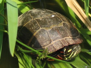 Chrysemys picta picta: painted turtle