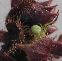 little green crab spider