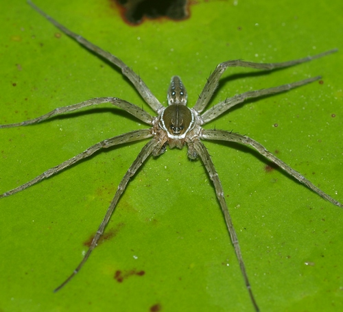 six-spotted fishing spider: Dolomedes triton