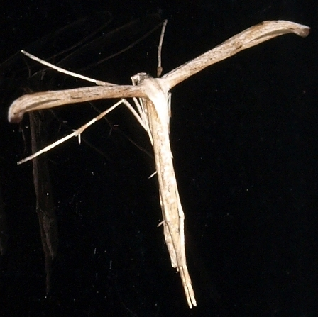 emmelina monodactyla: morning glory plume moth