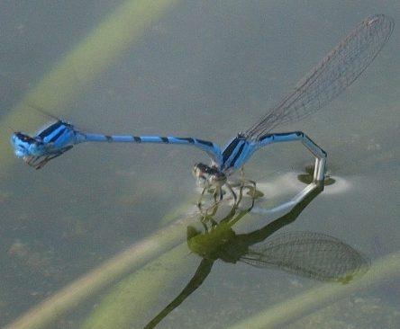 Enallagma civile: familiar bluet