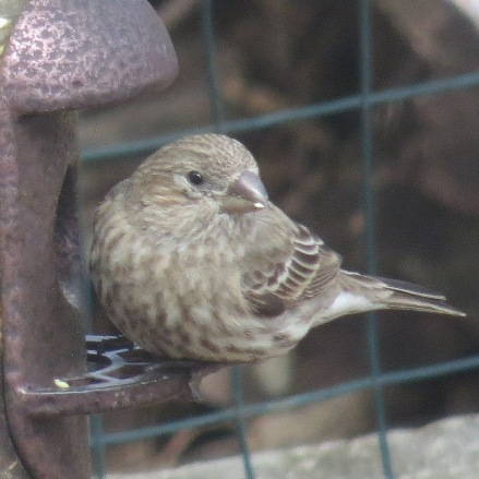 Haemorhous mexicanus (female) house finch