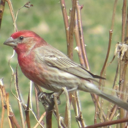 Haemorhous mexicanus (male) house finch