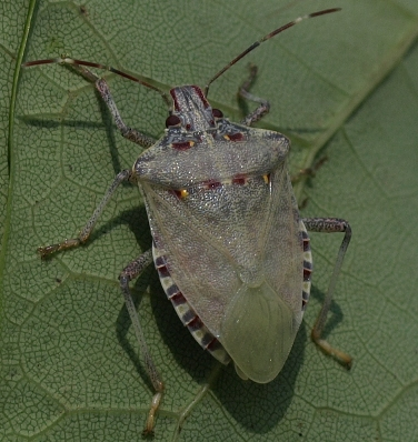 brown marmorated stinkbug: Halyomorpha halys (teneral form)