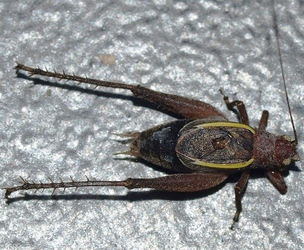 Hapithus agitator: restless bush cricket