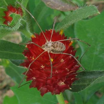harvestman on gomphrena