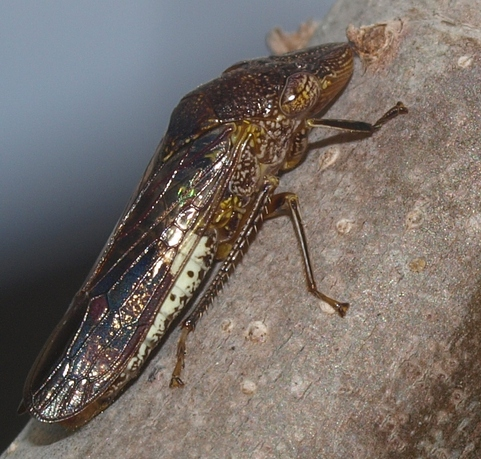 glassy-winged sharpshooter (Homalodisca vitripennis)