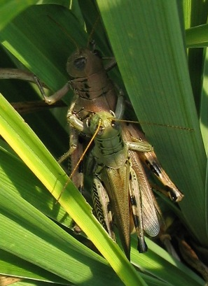 Melanoplus differentialis grasshoppers mating