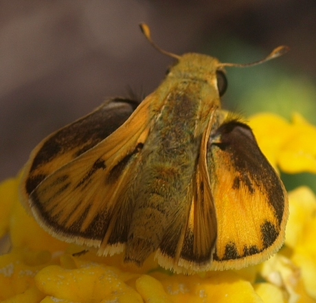 fiery skipper: Hylephila phyleus (male)