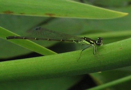 Ischnura posita fragile forktail damselfly (male)