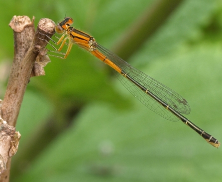 Ischnura verticalis: Easter forktail (immature female)