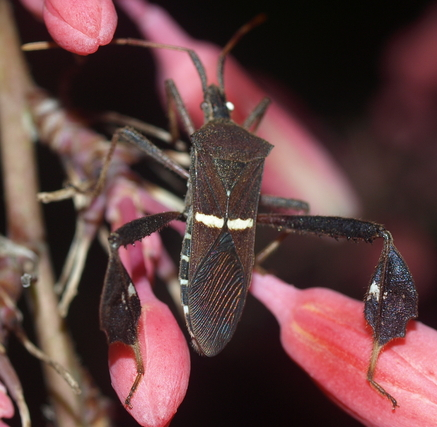 Eastern leaf-footed bug: Leptoglossus phyllopus
