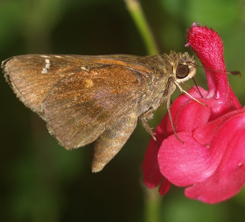 clouded skipper: Lerema accius