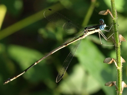 Lestes rectangularis: spreadwing damselfly