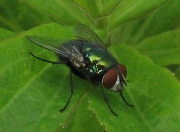 greenbottle lucilia illustris