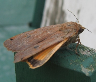 Noctua pronuba yellow underwing moth