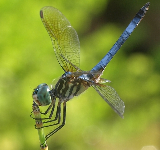 pachydiplax longipennis: blue dasher dragonfly