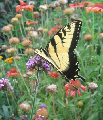 Eastern tiger swallowtail: papilio glaucus