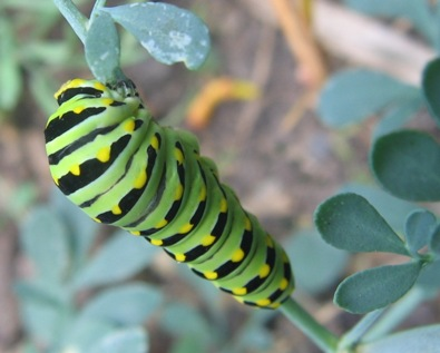 Papilio polyxenes: black swallowtail caterpillar