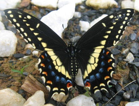 Papilio polyxenes: female black swallowtail
