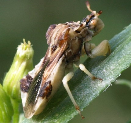 phymata ambush bug