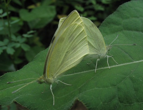 pieris rapae cabbage white mating