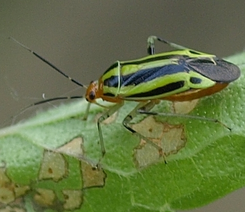 Poecilocapsus lineatus four-lined plant bug