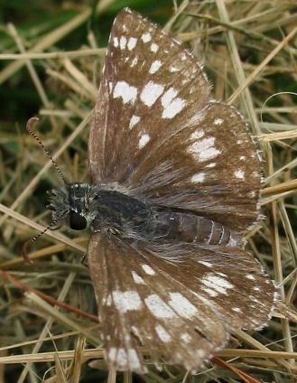 checkered skipper pyrgus communis