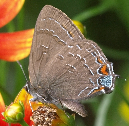 banded hairstreak: satyrium calanus