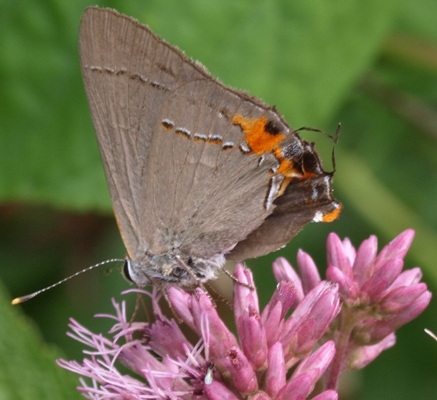gray hairstreak: strymon melinus