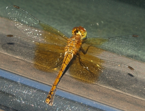 Sympetrum vicinum (female): eastern band-winged meadowhawk