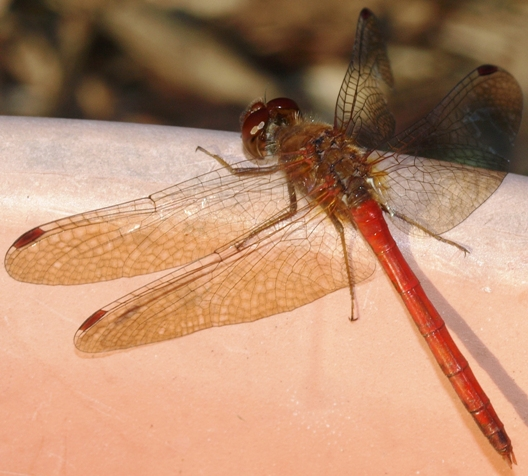 Sympetrum vicinum (male): autumn meadowhawk