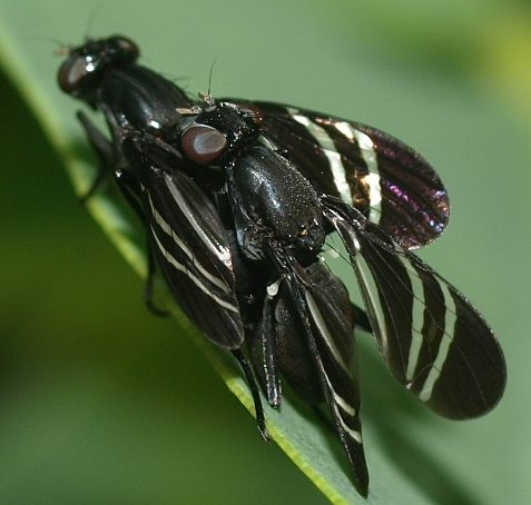 Tritoxa flexa: black onion flies mating