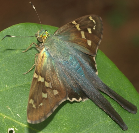 long-tailed skipper: Urbanus proteus