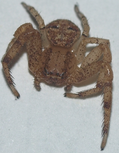 Xysticus (ground crab spider)