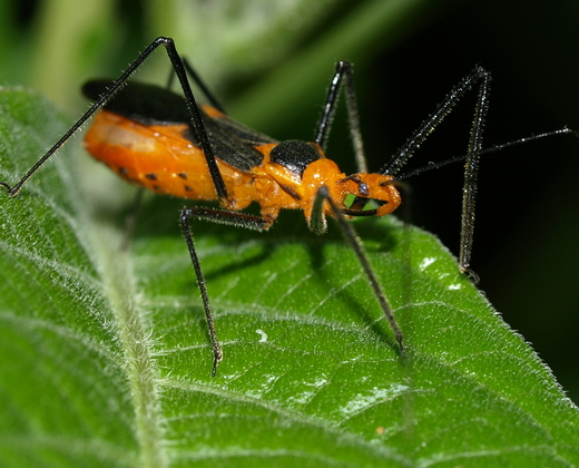 Zelus longipes milkweed assassin bug