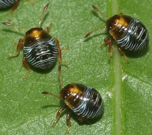 stinkbug nymphs