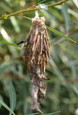 bagworm moth psychidae - protected