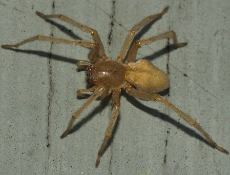 sac spider (cheiracanthium or clubiona)