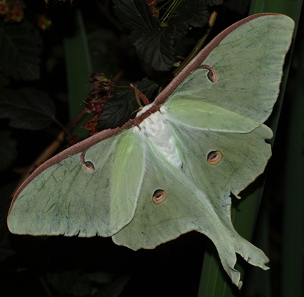 ActiasLuna: Luna moth female