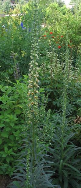 Digitalis ferruginae whole plant