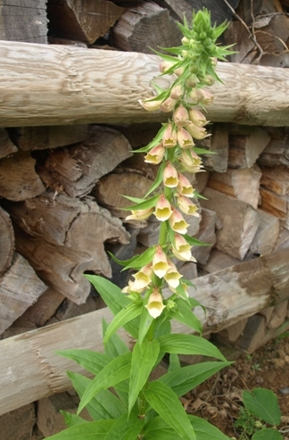 Digitalis fontanesii whole plant