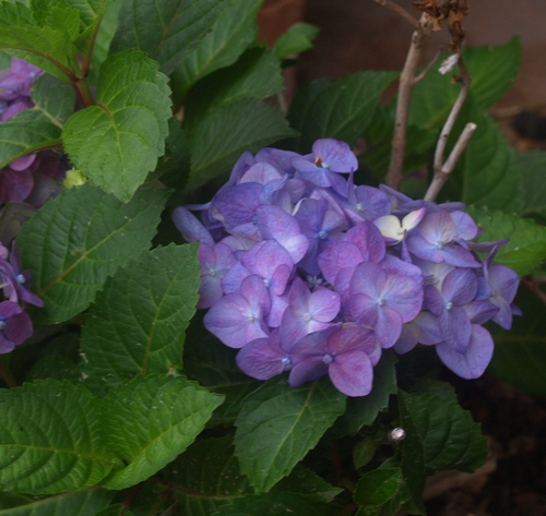 Hydrangea macrophylla Endless Summer BloomStruck ('PIIHM-II'